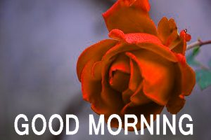 Romantic Lover Lover Couple Good Morning Images Wallpaper Pics With Red Rose