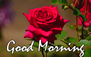 Red Rose Good Morning Images photo pictures pics free hd