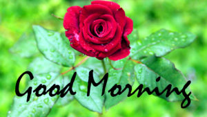 Red Rose Good Morning Images pictures photo free hd download