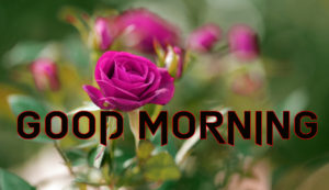 Beautiful Good Morning Images photo for Rose