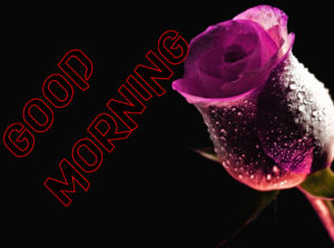Latest HD Good Morning Images Photo With Rose