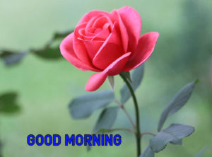 Good Morning Images Photo With Rose