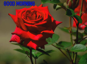 Good Morning Images Pics Wallpaper Free New With Rose