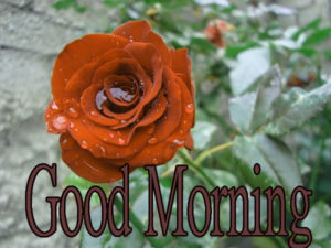 Latest Free Good Morning Wishes Images Pic With Red Rose