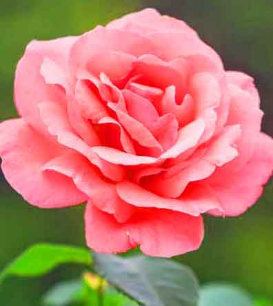 Rose Free Best Whatsapp DP Images