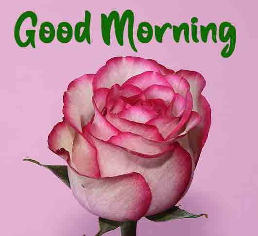 alone rose Good Morning picture hd