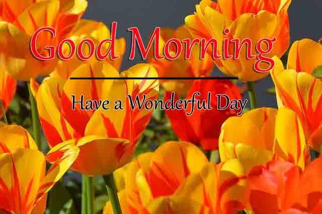beautiful tulips flower Good Morning hd