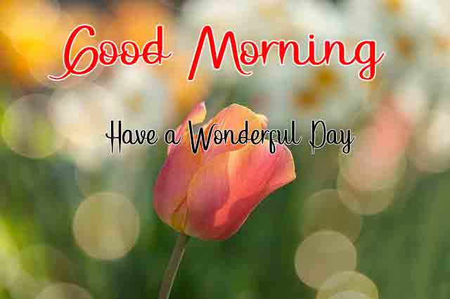 best tulips Good Morning flower images hd