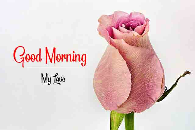 cute rose Good Morning images hd