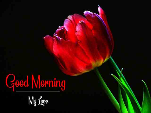 latest red rose Good Morning pics hd