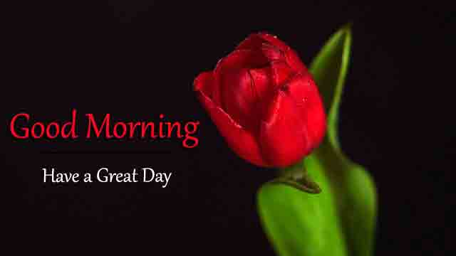 latest red rose flower Good Morning pics hd