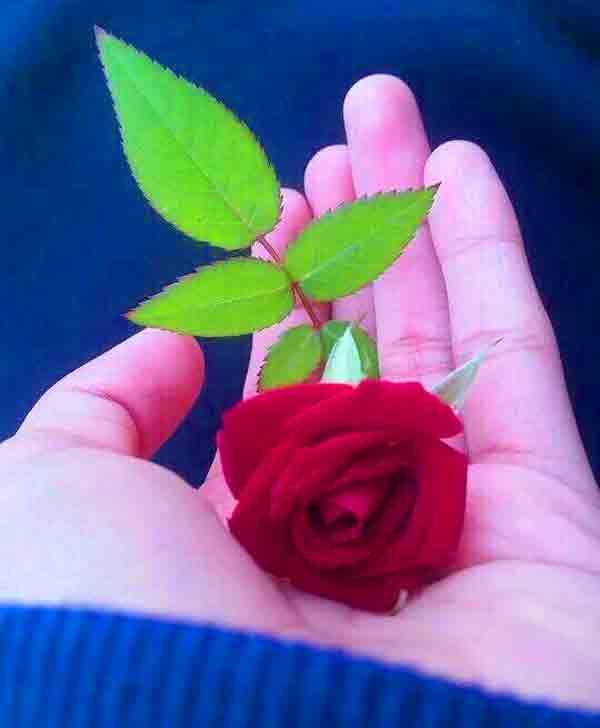 latest rose Beautiful Whatsapp Dp Images photo