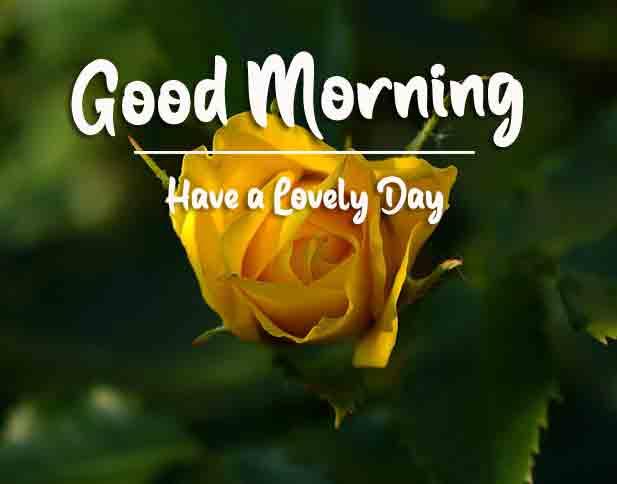 latest yellow rose Good Morning pics hd