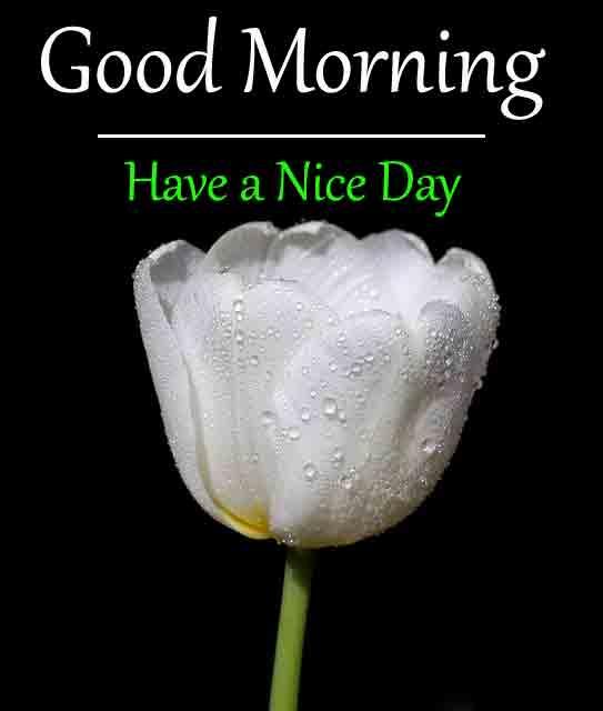 nice white tulips flower Good Morning pics hd